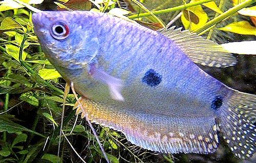 Аквариумная рыбка Пятнистый гурами.