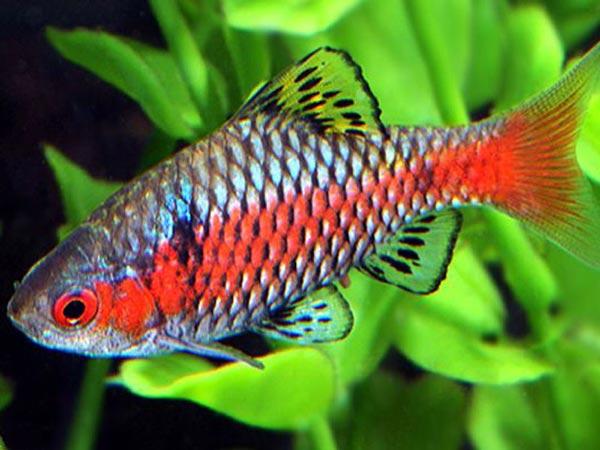 Аквариумная рыбка Барбус-тикто (алый).