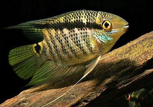 2059 Аквариумная рыбка Цихлазома мезонаута.