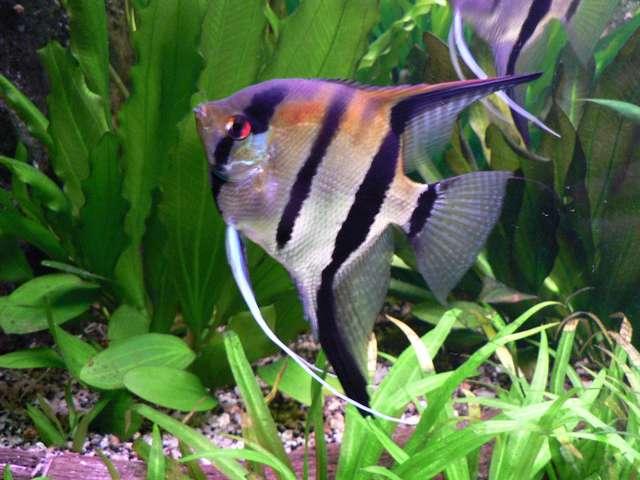 Аквариумная рыбка Скалярии.