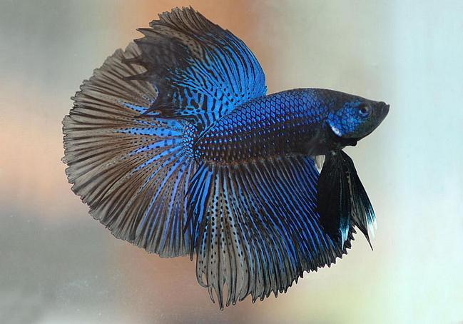 Аквариумная рыбка Петушок.