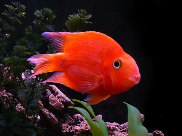 Аквариумная рыбка Красный попугай.