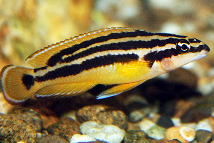 Аквариумная рыбка Юлидохромис орнатус.