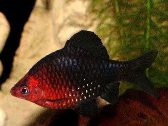 Аквариумная рыбка Чёрный барбус.