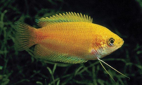 Аквариумная рыбка Медовый гурами.