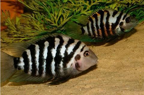 Аквариумная рыбка Цихлазома чернополосая.