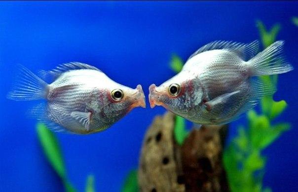 Аквариумная рыбка Целующийся гурами.