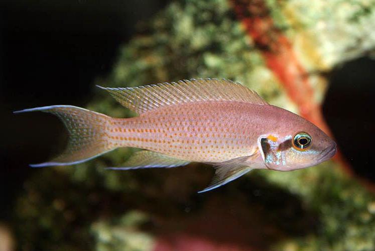 2048 Аквариумная рыбка Принцесса Бурунди.