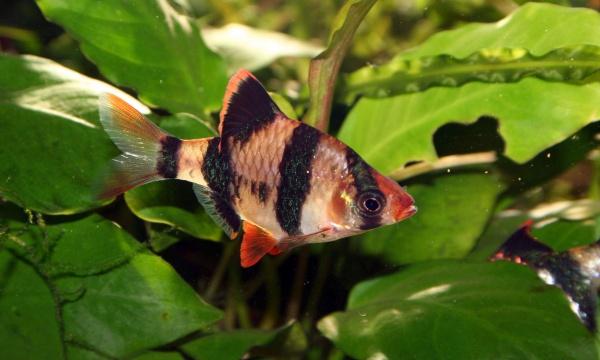 2207 Аквариумная рыбка Суматранский барбус.