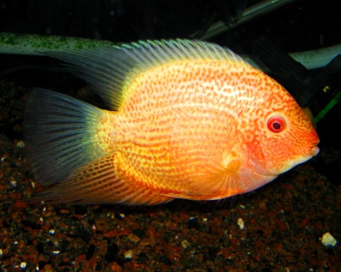 Аквариумная рыбка Цихлазома северум.