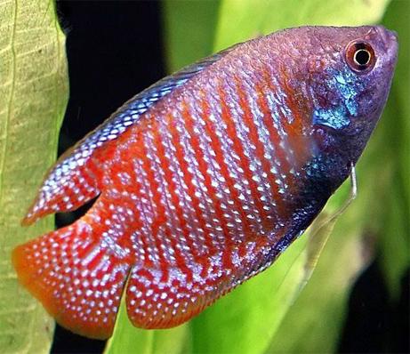 Аквариумная рыбка Лялиус.