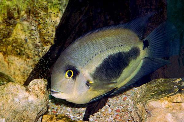 2052 Аквариумная рыбка Уару чернопятнистый.