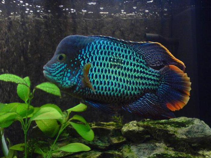 Аквариумная рыбка Бирюзовая акара.