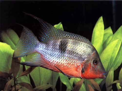 Аквариумная рыбка Цихлазома Меека.