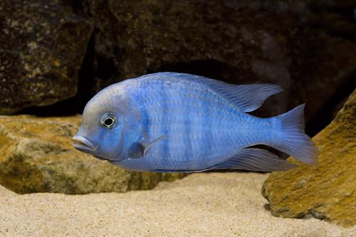 Аквариумная рыбка Цихлида голубой дельфин.