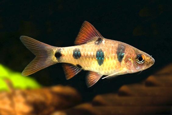 Аквариумная рыбка Барбус клоун.