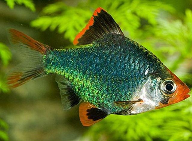 Аквариумная рыбка Барбус зелёный.