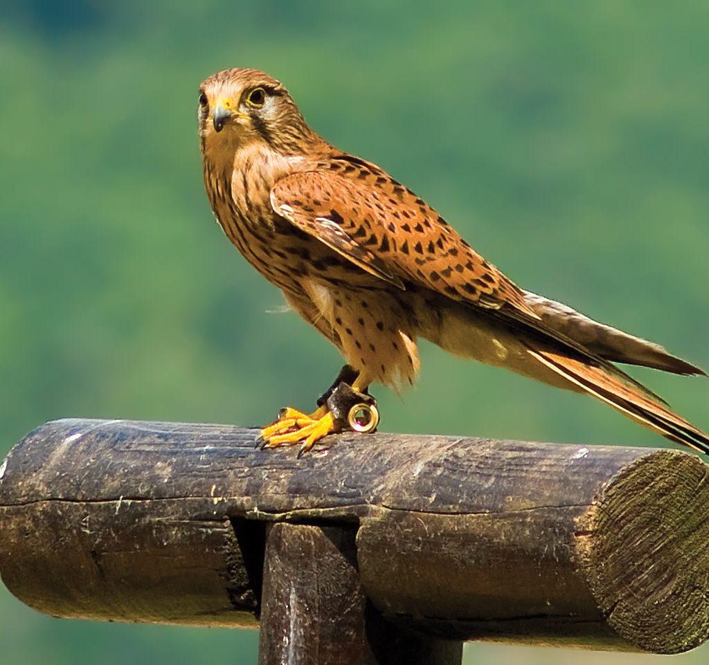 Птица Сокол.