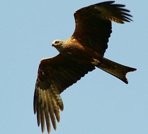 5589 Птица Коршун.