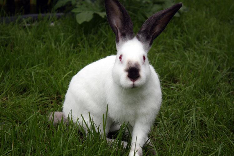 Кролик, порода Калифорнийский