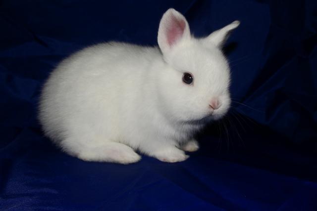 Кролик, порода Карликовый Гермелин