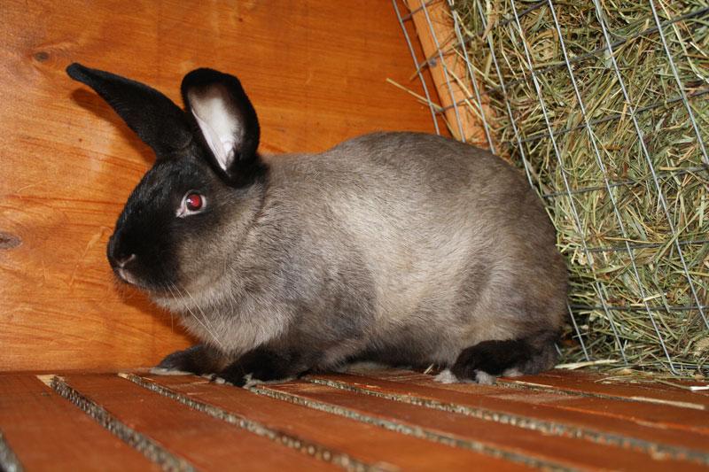 Кролик, порода Большой мардер