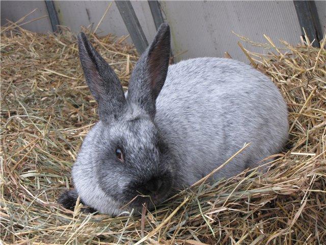 Кролик, порода Большое светлое серебро