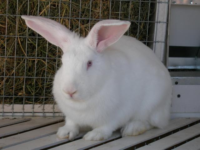 Кролик, порода Великан