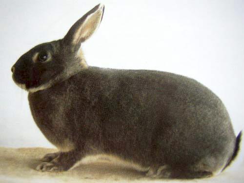 Кролик, порода Белка