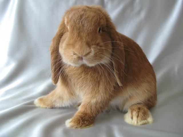 Кролик, порода Карликовый  вислоухий баран
