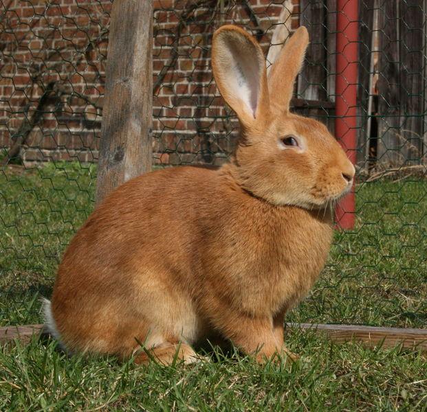 Кролик, порода Бургундский
