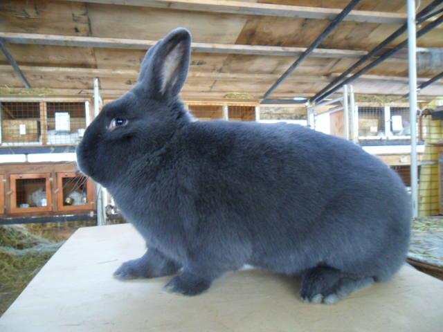 Кролик, порода Венский голубой