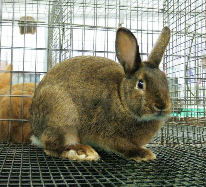 Кролик, порода Аляска