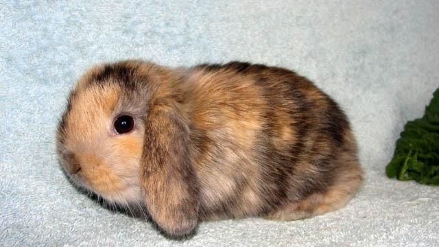 Кролик, порода Японский карликовый кролик