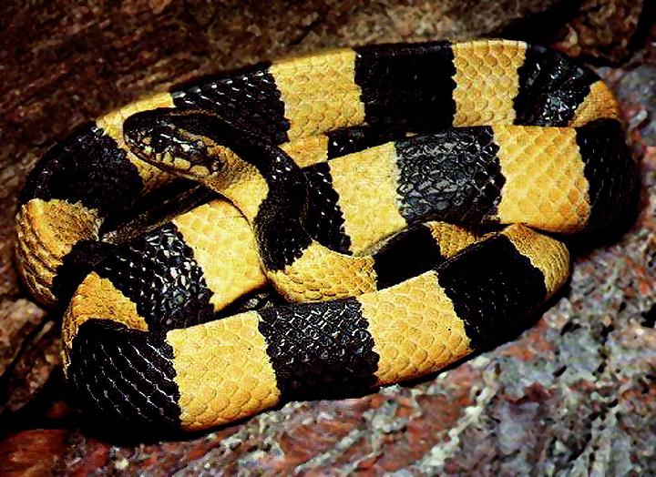 Змея Ленточный крайт