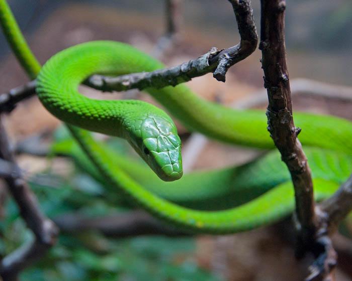 Змея Западная зелёная мамба