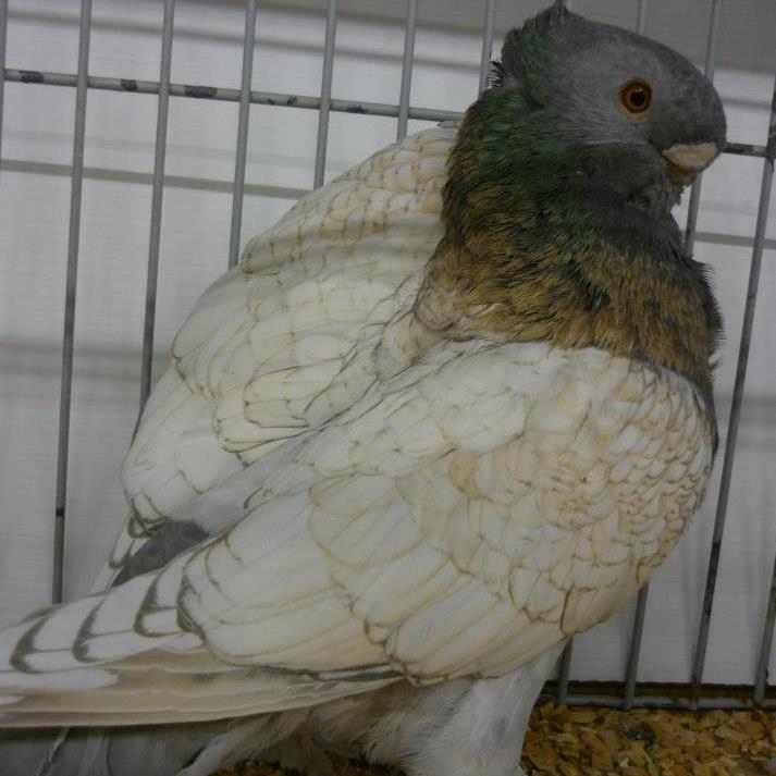 Голубь Африканская сова