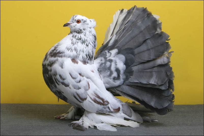 Голубь Индиана