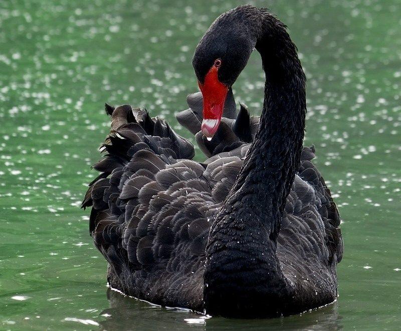 Лебедь, порода Чёрный.