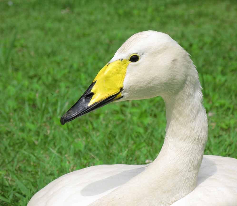 Лебедь, порода Американский.