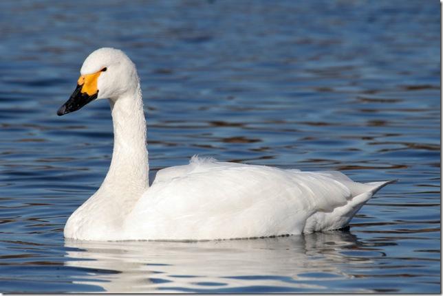 Лебедь, порода Тундровый ( малый).