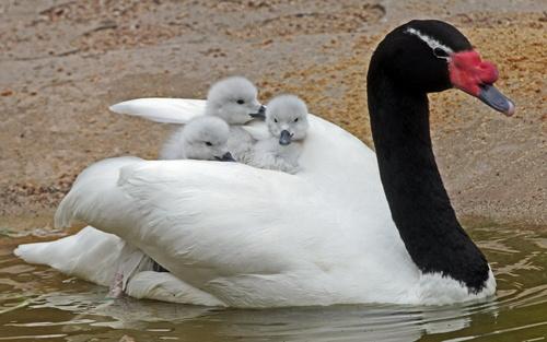 Лебедь, порода Черношейный.