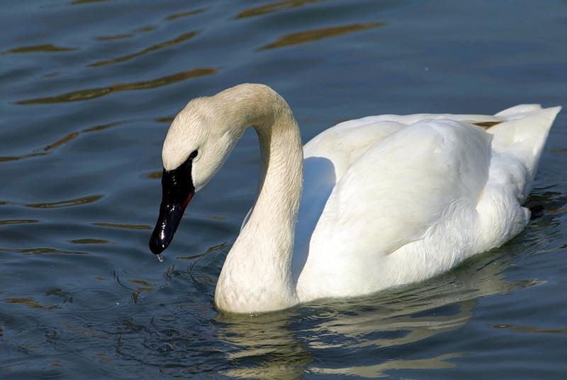 Лебедь, порода лебедь – трубач.
