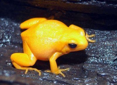 Лягушка Жёлтая мантелла