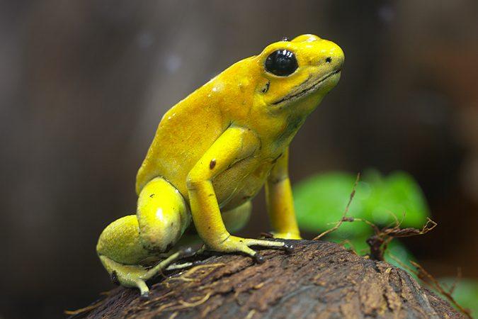 Лягушка Ужасный листолаз