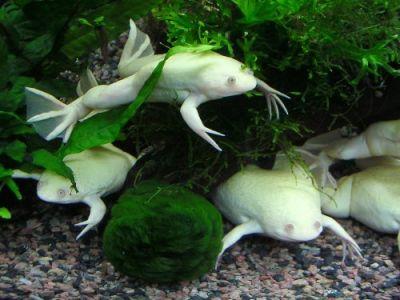 Гладкая шпорцевая лягушка