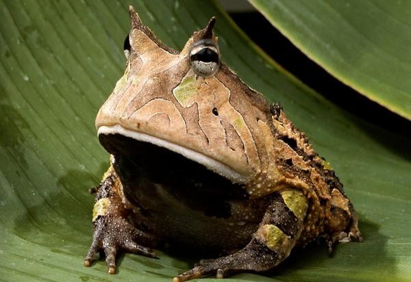 Лягушка Рогатая жаба