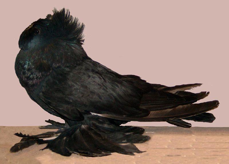 Бухарский голубь (барабанщик)