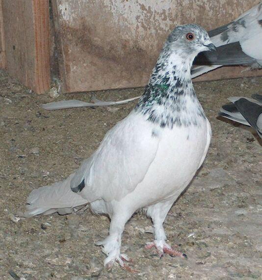 Венгерский высоколетный голубь
