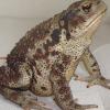 4373 Дальневосточная жаба